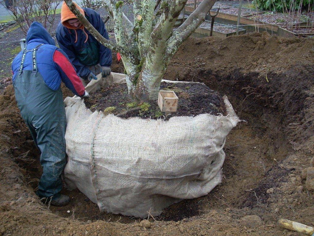 چتایی پیچ کردن توپ ریشه درختان روتبالی