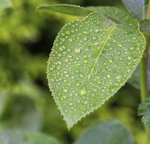 محلول پاشی یا تغذیه برگی درختان