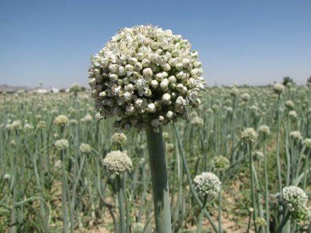 اصول تولید بذر پیاز
