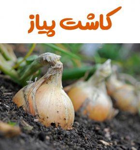 تولید بذر پیاز
