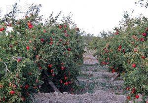 پرورش و کاشت انار