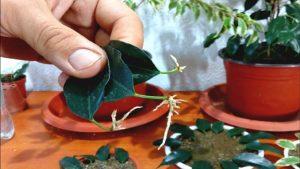 نگهداری و پرورش گیاه بنجامین